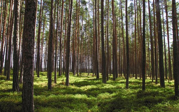 A tall image in portrait view of a thick forest. The trees are lush and there is greenery at their trunks.